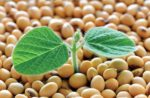 soy-plant-germinating-from-soy-seeds