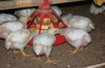 broilers-eating-pullets-growing