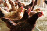 cage-free-laying-hens-eating