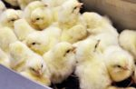 generic-chicks-before-sorting