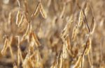 close-up-of-soybeans-in-field