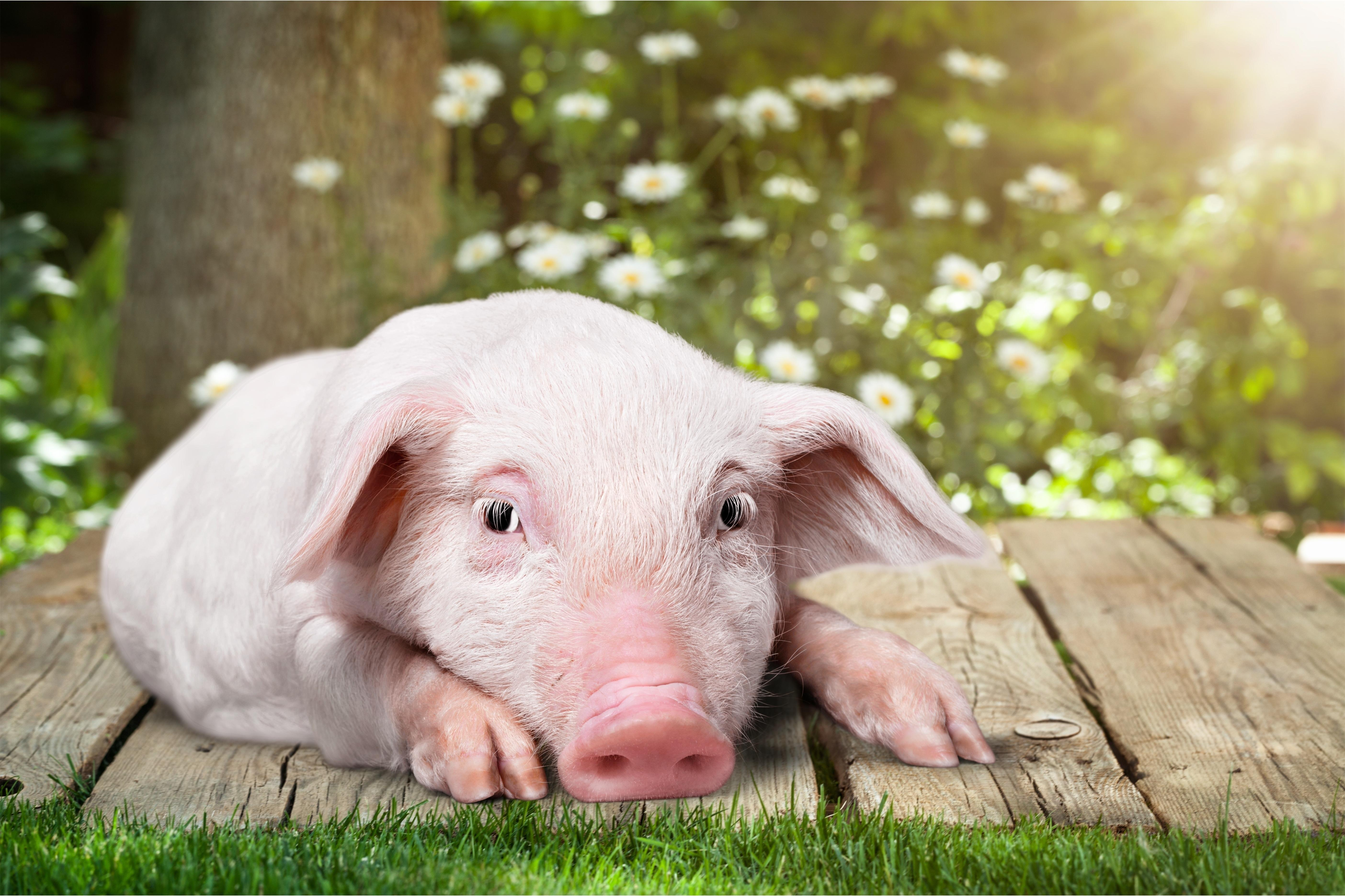 pig farm animals animal piggy cute happy friends background pink saying stop agriculture wooden garden livestock industry overly poultry wattagnet