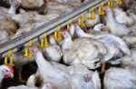 chicken broilers drinking water