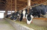 Dairy-cows-fed-canola-meal.jpg