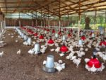 Ivory-Coast-Broiler-Farm-1.jpg