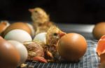 newly-hatched-chick-in-hatcher