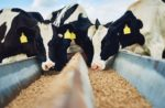 feeding-essential-oils-to-dairy-cows.jpg