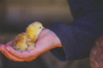 chick-in-hand