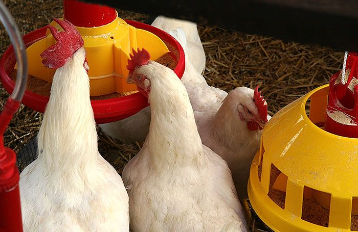 Four-broiler-chickens-eating