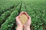 handful of soybeans in soybean field