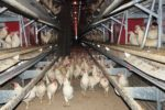 cage free hens litter