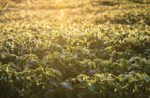 sustainable-global-soybean-production.jpg