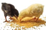 Broiler-Chicks-Eating.jpg