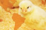 Broiler-chicks-2.jpg