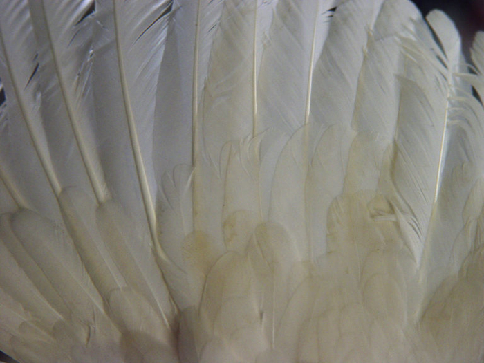 White-feathers