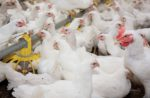 biosecurity-live-production-broilers.jpg