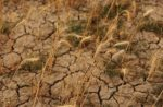 Wheat growing in dry soil