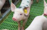 spotted-piglet-on-farm.jpg