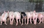 piglet behinds eating from trough