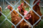 Mississippi-State-University-cage-free