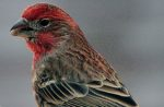 Customs-seizes-finches