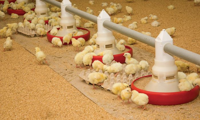 broiler-chicks-eating-2.jpg