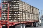 chickens-transported-farm-processing