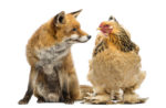 fox-and-hen-faceoff