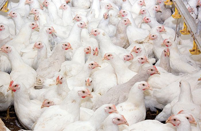 Young-broilers-poultry-farm