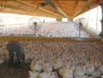 Poultry-house-with-dividers-1.jpg