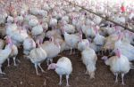 white-turkeys-in-barn