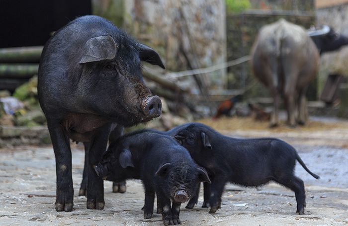 China-pigs-african-swine-fever