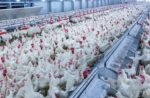 broilers-eating-pelleted-feed.jpg