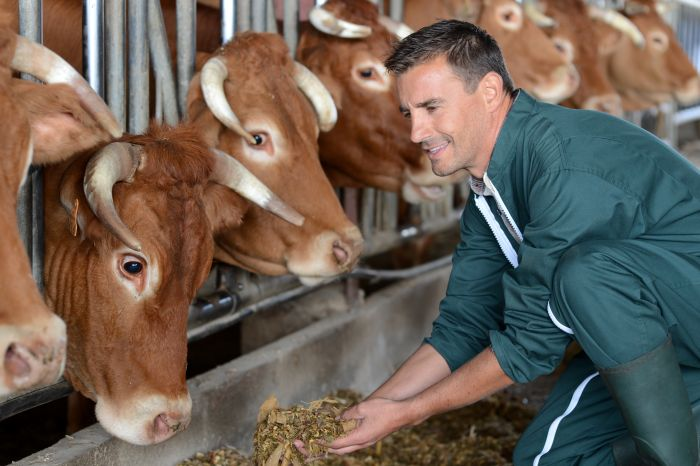 Brown-cows-eating-with-farmer