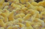 chicks-Aviagen-hatchery