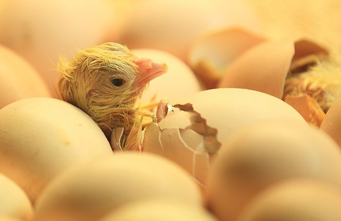 newborn-chick-hatching