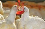 white-broilers-drinking-closeup