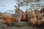 chickens-and-rabbit