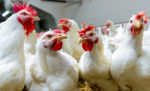 broilers-farm-production