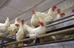 white-cage-free-hens.jpg