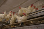 white-cage-free-hens