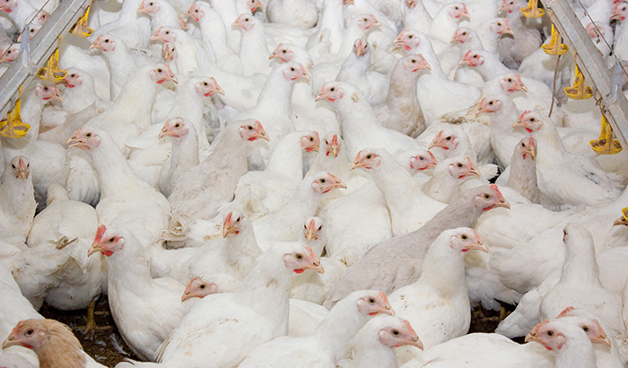 young-white-broilers-in-house