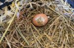 Dirty-egg-in-a-nest-1.jpg