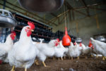 white-chickens-in-poultry-house