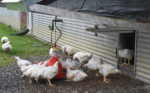 Perdue-organic-chicken-outdoor-access