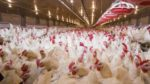 mature-broilers-in-house