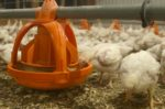 Poultry-litter-feed