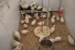 Broiler-breed-study-University-of-Guelph