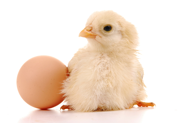 newborn-chick-with-egg