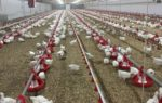 poultry-litter